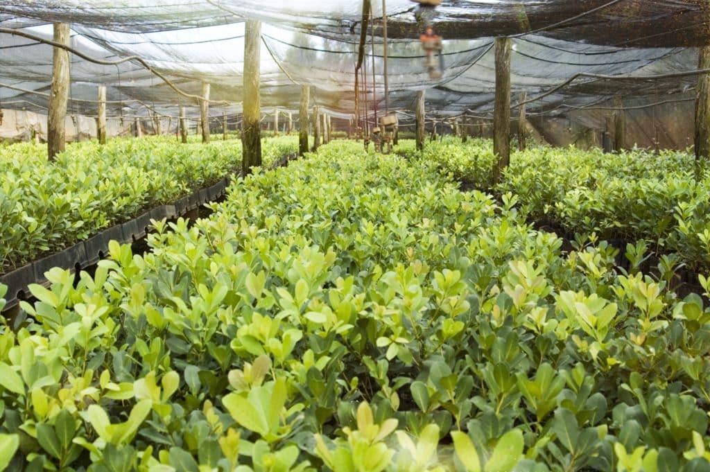 Yerba Mate plantation teapro